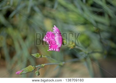 Macro photograph of wild pink carnation flower (Dianthus caryophyllus) on natural background