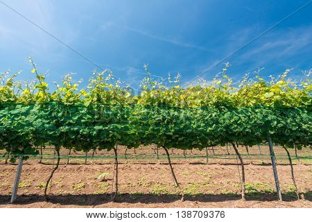 rows of vineyards - selective focus copy space