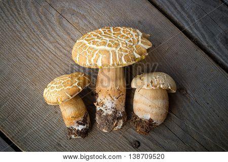 Mushroom Boletus over Wooden Background. Autumn Cep Mushrooms. Porcini Picking
