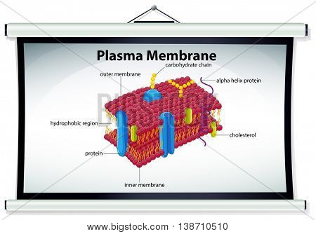 Chart showing plasma membrane illustration
