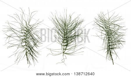 dry green leaf equisetum isolated pressed on white background