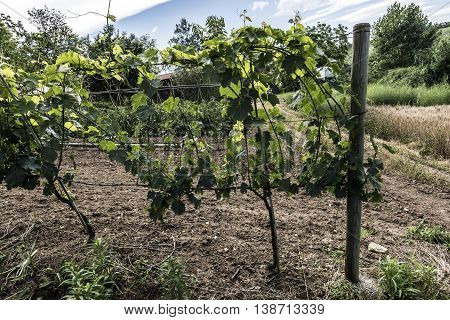 Small green vineyard in the countryside close up