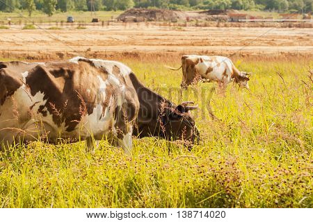 Cows on a summer pasture on background of farm and forest. Concept of organic cattle farming and agriculture.