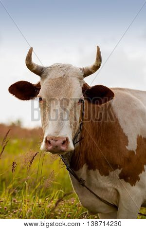 Portret of domestic red young cow with white spots on pasture in the village looking at us , ecology, organic cattle farming and agriculture concept. Vertcal