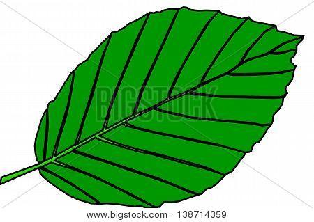 beech ,  isolated beech leaf , beech leaf illustration ,