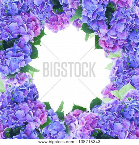 blue and violet hortensia flowers frame isolated on white background