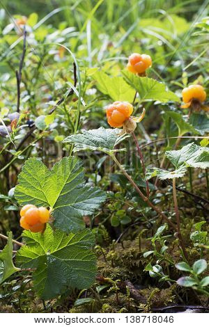 Ripe juicy cloudberries in the northern forest in a swamp covered with drops of dew