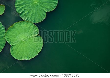Peaceful And Calm Concept . Composition Of Green Lotus Leaves In The Lake .the Details Of Lotus Leav