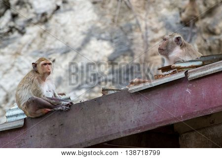 Crab-eating macaques sitting on the roof of a house Phetchaburi Thailand. Urban wildlife and pest control concept.