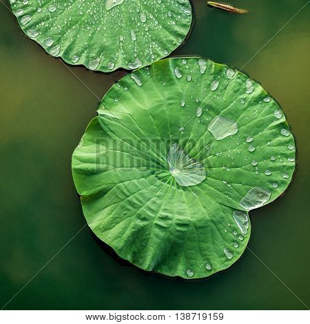 Peaceful And Calm Concept . Composition Of Green Lotus Leaves With Rain Drop In The Lake .the Detail