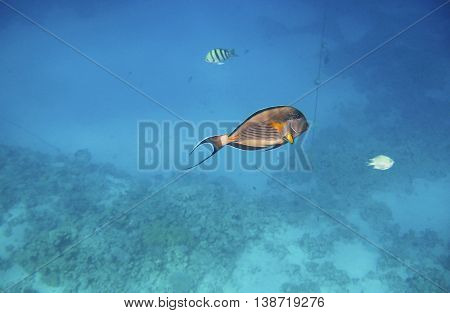 Tropical exotic fish acanthurus underwater in the water Red Sea