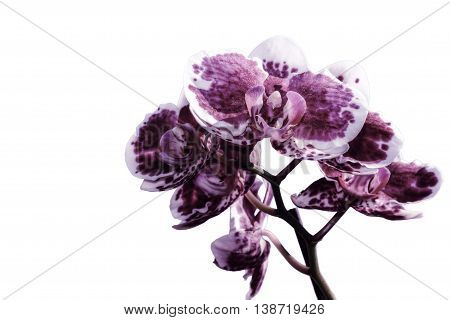 Beautiful floral background with burgundy orchid flowers with a white border and spotted closeup isolated on white background