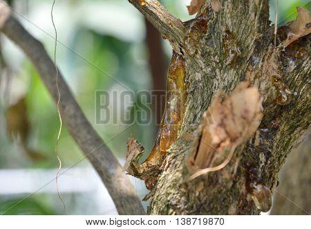 gumtree flow on branch in the backyard garden
