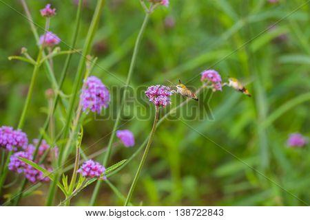 Hummingbird hawk moth (Macroglossum stellatarum) sucking nectar from purple flower (Verbena bonariensis)
