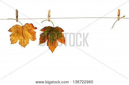 Maple branch hanging on clothesline isolated on white background