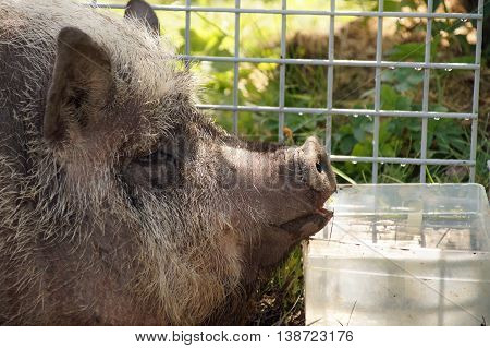 Pot - bellied pig at a farm