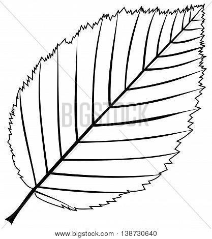 hornbeam , isolated hornbeam leaf , hornbeam leaf  illustration