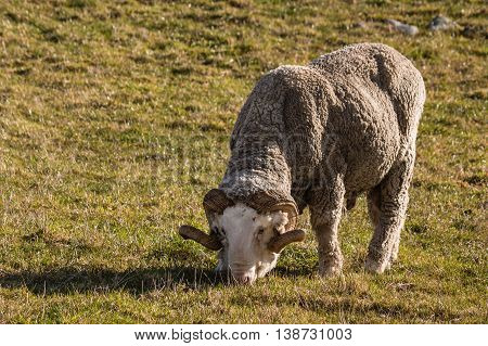 merino ram with horns grazing on meadow