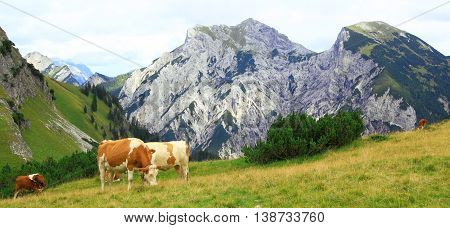 View On An Alp With Grazing Cows In The Karwendel Mountains Of The European Alps