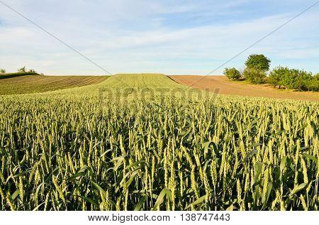 Wheat farmland in spring time. Farming in Europe
