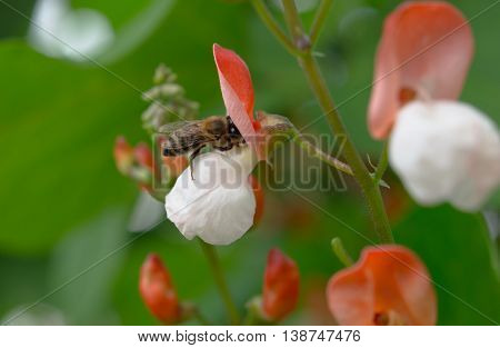 bee collects nectar from a flower bean