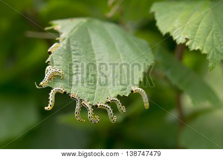 a beautiful caterpillars eating a leaf. Close up