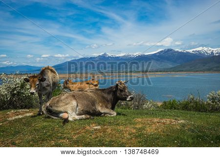 Cows On Island Of St. Ahileos At Lake Prespa, Greece