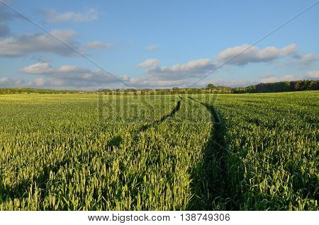 Wheat field in dusk time, agriculture in eastern Europe