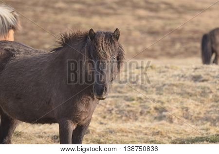 Icelandic horse farm with free roaming horses.