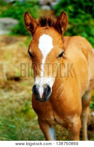 Little Adorable Brown Baby Foal On Summer Meadow.