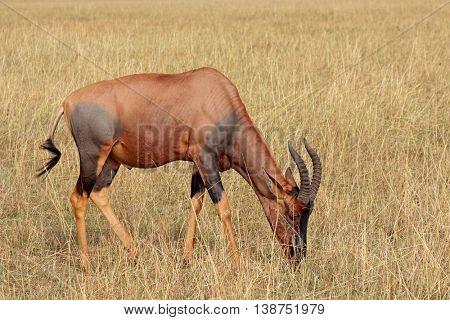 A topi antelope (Damaliscus korrigum) grazing, Masai Mara National Reserve, Kenya