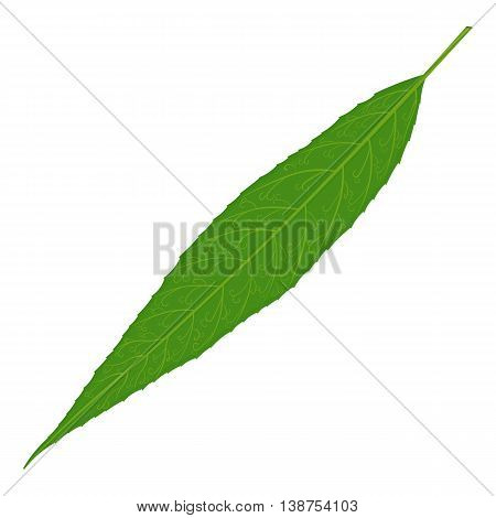 Green willow tree leaf vector illustration isolated on a white background
