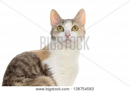Portrait of a pretty tricolor cat isolated on a white background