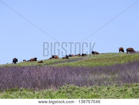 CANTON, KANSAS, USA - MAY 17, 2015: Grazing buffalo herd in Maxwell Wildlife Refuge near Canton.