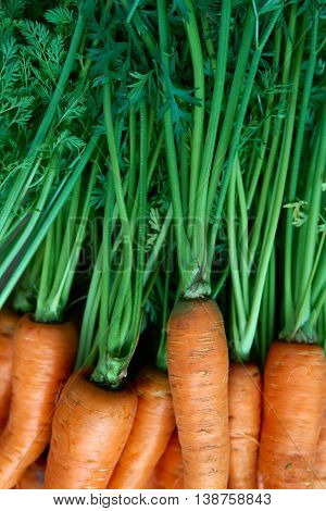 Closeup of bunch of fresh carrots with green leaves