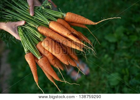 Cropped image of closeup human hands holding fresh carrots with green leaves