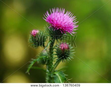Thistle Flower close up Macro 60 mm