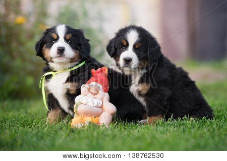 two bernese mountain puppies posing outdoors together with gnome