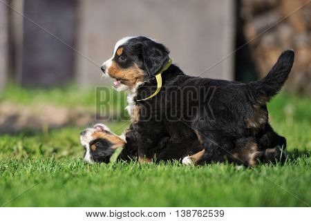 two adorable puppies playing outdoors in summer