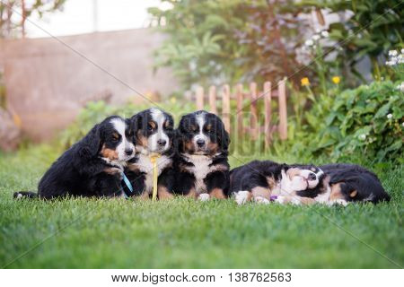 group of bernese mountain puppies outdoors in summer