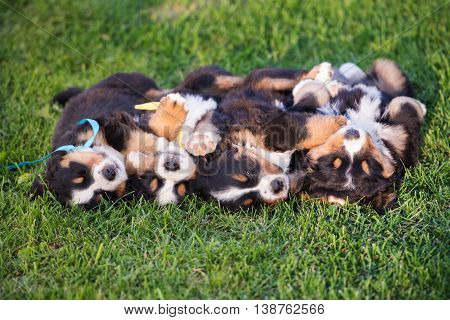 four adorable puppies sleeping on grass upside down