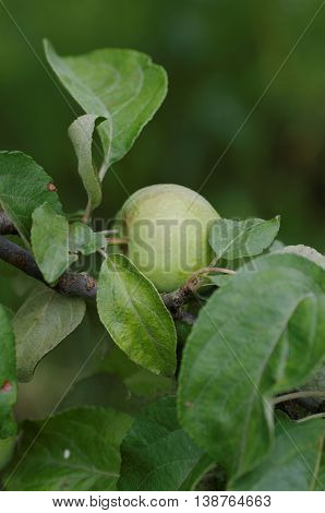 Wild apple tree in the garden. Branch with immature fruit.