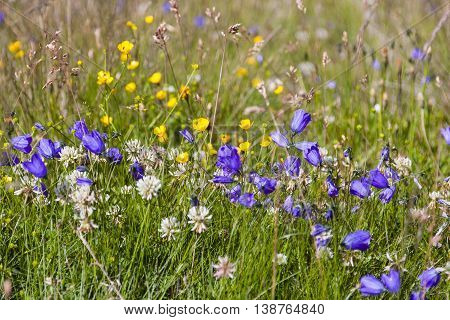 A flower meadow with bell flowers in the Pitztal Austria