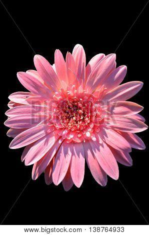 image of pink zinnia flower on black screen