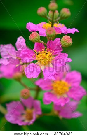 closeup image of beautiful crape myrtle flower