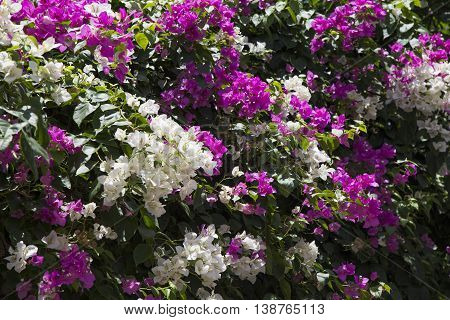 Bougainvillea flower in purple and white under the sunlight