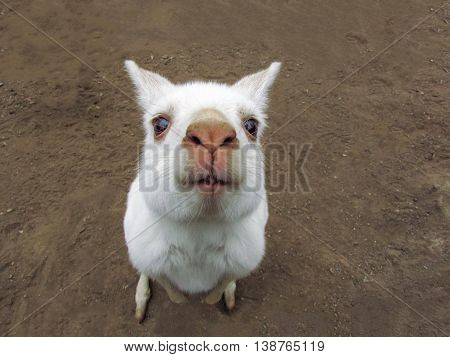 Closeup of a cute albino kangaroo standing up looking at the camera