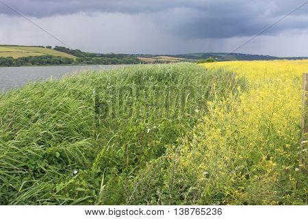 Rape field by Slapton Ley under storm clouds