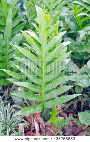Monstera leaf (Also known as Arum Araceae Monstera evergreen vines Monstera deliciosa) in the garden with green nature background