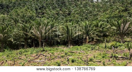 Palm oil plantation and area of deforestation